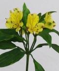 Yellow Labielle Alstromeria