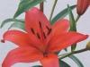 Nello Asiatic Lilium