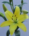 Ceb Dazzle Asiatic Lilium