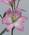 Samur Asiatic Lilium