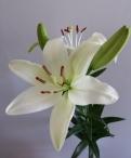 Arachon Asiatic Lilium