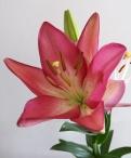 Arbatax Asiatic Lilium