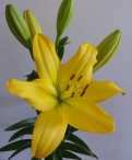 Nashville Asiatic Lilium