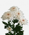 Candor spray chrysanthemum