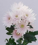 Anastasia pink spray chrysanthemum