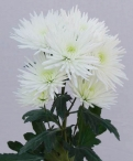 Anastasia white spray chrysanthemum