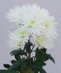 Anastasia white spray chrysanthemum