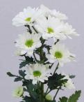 Bacardi spray chrysanthemum