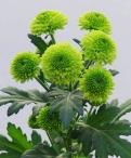 Greenbird spray chrysanthemum