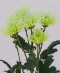 Anastasia lime spray chrysanthemum