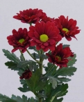 Marabou spray chrysanthemum