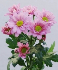 Reagan improved spray chrysanthemum