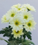 Reagan lemon spray chrysanthemum