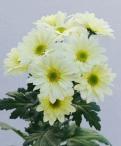 Reagan lemon spray chrysanthemum