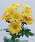 Reagan orange spray chrysanthemum