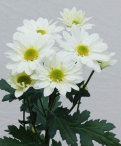 Reagan white spray chrysanthemum