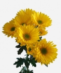 Corona spray chrysanthemum