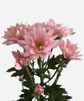 Reagan pearl spray chrysanthemum