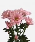 Reagan pearl spray chrysanthemum
