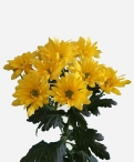 Spoetnik sunny spray chrysanthemum