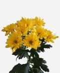 Spoetnik sunny spray chrysanthemum