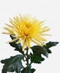 Anastasia Sunny Disbud Chrysanthemum