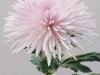 Anastatia Pink Disbud Chrysanthemum