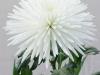 Anastatia White Disbud Chrysanthemum
