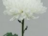Chita Disbud Chrysanthemum