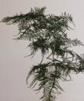 Asparagus Fern Greenery