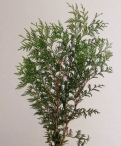 Cypress Greenery