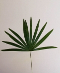 Fan Palm Greenery