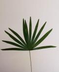 Fan Palm Greenery