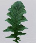 Gerbera Leaf Greenery
