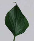 Hosta Leaf Greenery