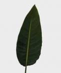 Sterlitzia Leaves Greenery