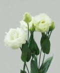 Lisianthus green lisianthus