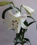 White Triumph Longiflorum