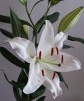 Premium Blond Oriental Lilium