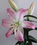 Table Dance Oriental Lilium