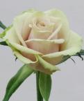 Creme de Menthe Roses