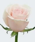 Dancing Queen Roses