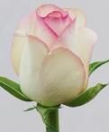 Dolce Vita Roses