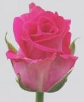 Hot Lips Roses