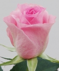 My Girl Roses