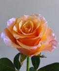 Carpe Diem Roses