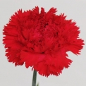 Sim Carnations domingo