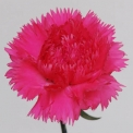 Sim Carnations dona