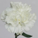 Sim Carnations dover