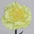 Sim Carnations exotica
